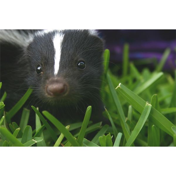All About Skunks: Science Homework Help