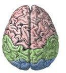 Cerebral Lobes Wikimedia Commons