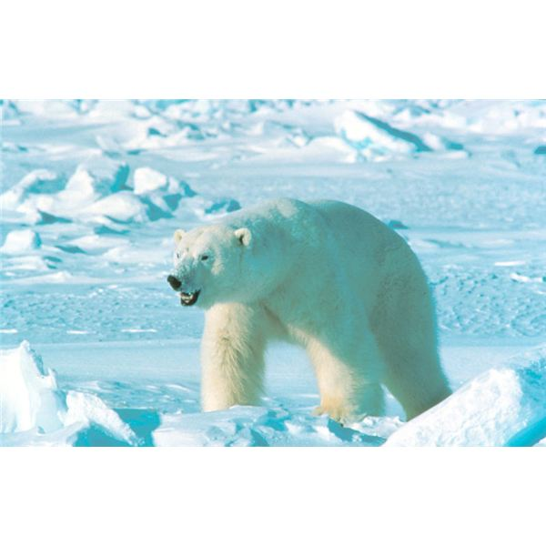 Are Polar Bears in Danger of Extinction?: Find Your Answers About Polar Bear Extinction Here