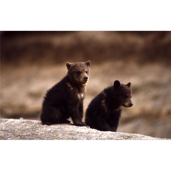 800px-Grizzly Bear cubs