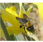 Carpenter bees have a dark underside - no yellow