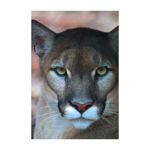 eb9de13889a How Did the Florida Panther Become Endangered  Learn the Threats to ...