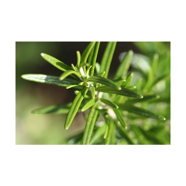 Rosemary Is Beneficial for Hair