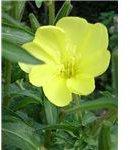 Evening primrose - England
