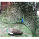 Peacock Courting A Peahen