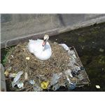 A Swan on a Nest of Plastic Waste