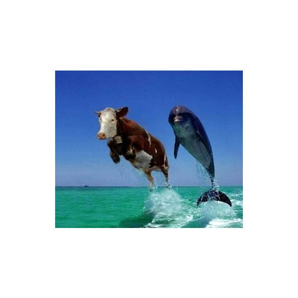 cow-dolphin-3