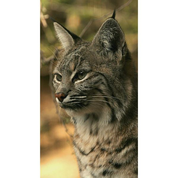 Bobcat Facts and Information: Facts About the National Bobcat Diet, Habitat, Reproduction, Life Span and More