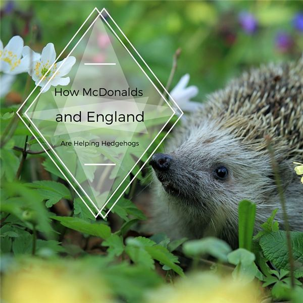 Saving Hedgehogs with Holey Fences and Special Ice Cream Containers