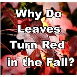 Why Do Leaves Turn Red in Fall?