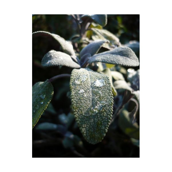 What Are the Health Benefits of Sage?