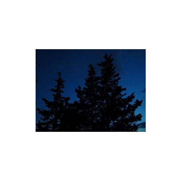 pine trees at night by Carla Michelle