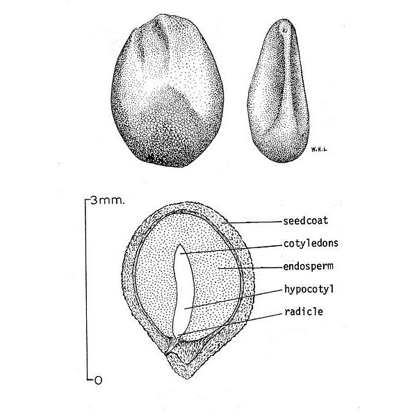 Solanum Seed Diagram