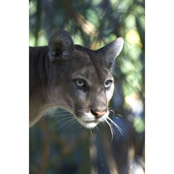 d5fa4bcd0f2 Interesting Facts about the Florida Panther  Learn about this ...