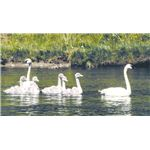 Trumpeter swan family in Grand Teton NP