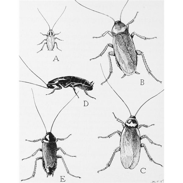 Four species of common household roaches