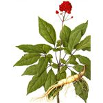 Panax Ginseng (a wonderful herb to reduce stress and promote relaxation)