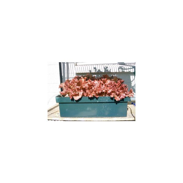 Red Leaf lettuce in a Raft