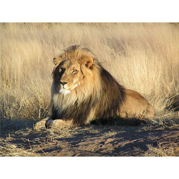 A Male African Lion in Nambia