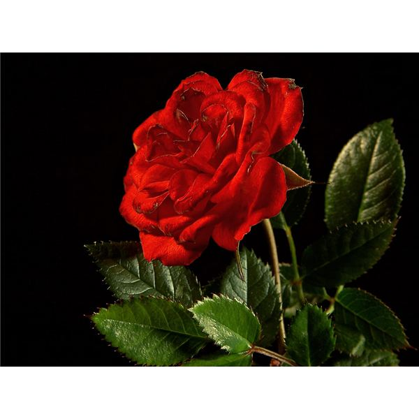 Red Rose (public domain image)
