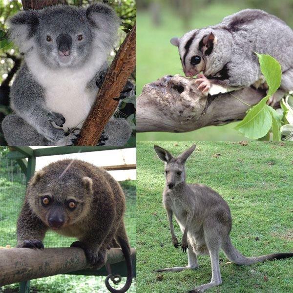 Marsupialia collage