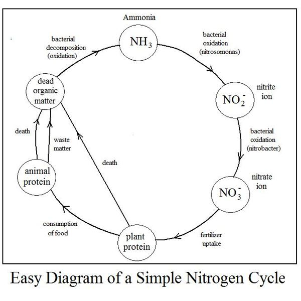 Easy Diagram Of Nitrogen Cycle Shows Conversions In The Simple