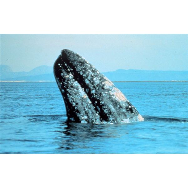 Gray whale picture from NOAA photo gallery.