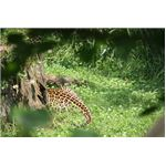 At noon, zoo photographers can only take pictures of the leopard's tail