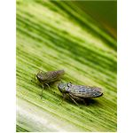 Black Faced Leafhopper
