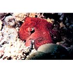 Octopus in the  Gulf of Aqaba, Red Sea
