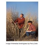 Switchgrass from Perry Gleb