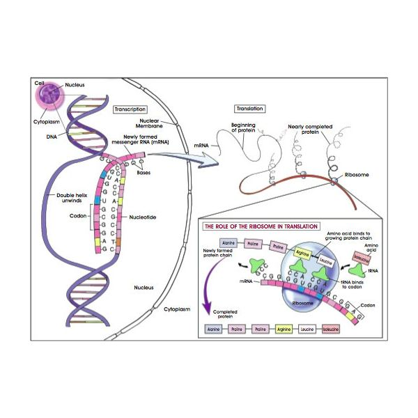 Frameshift mutations and their effect on proteins