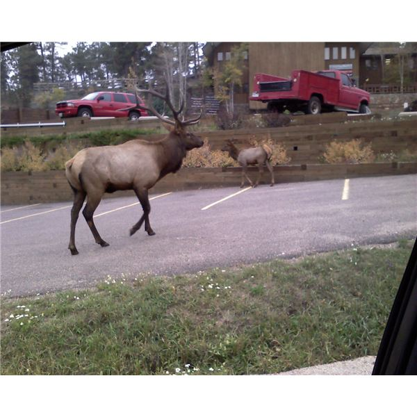 Elk Herd Downtown Evergreen Colorado