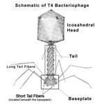 Bacteriophage T4, created to attack the E. coli bacteria