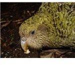 Strigops habroptilus available free at wikipedia