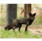 Black Fox in Evergreen Colorado