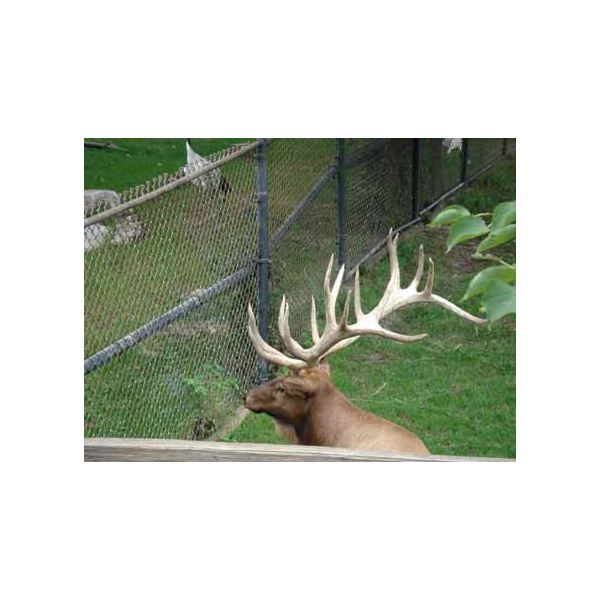 The fence distracts the view from the antler
