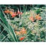 Oaxaca Lily