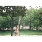 A giraffe eating the leaves of the tree is an interesting picture