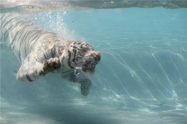 Panthera tigris - Wild Tiger