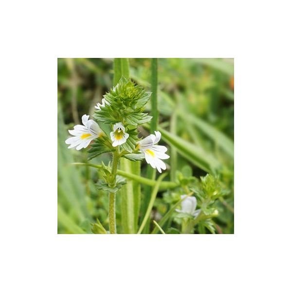 Learn the Benefits of Eyebright Tea