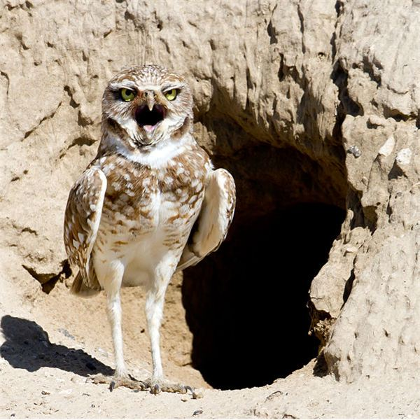 601px-Burrowing Owl by Mick Thompson