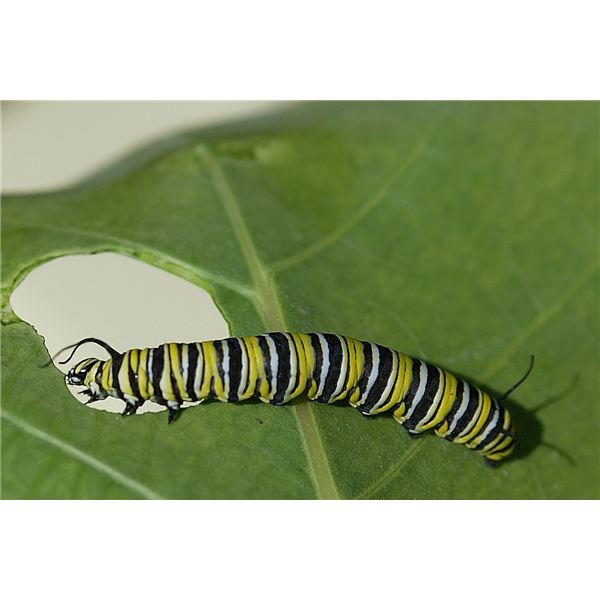 Kids can watch caterpillars change into butterflies.