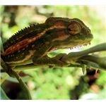 Garden Chameleon