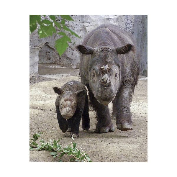 Endangered Sumatran Rhinos: Learn Interesting Facts About the Sumatran Rhino & Why They are Currently on the Endangered Species List