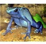 719px-Blue poison dart frog arp