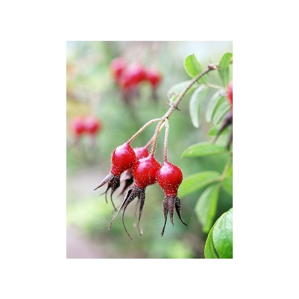 Medicinal Uses of Rose Hips and Tea Preparation