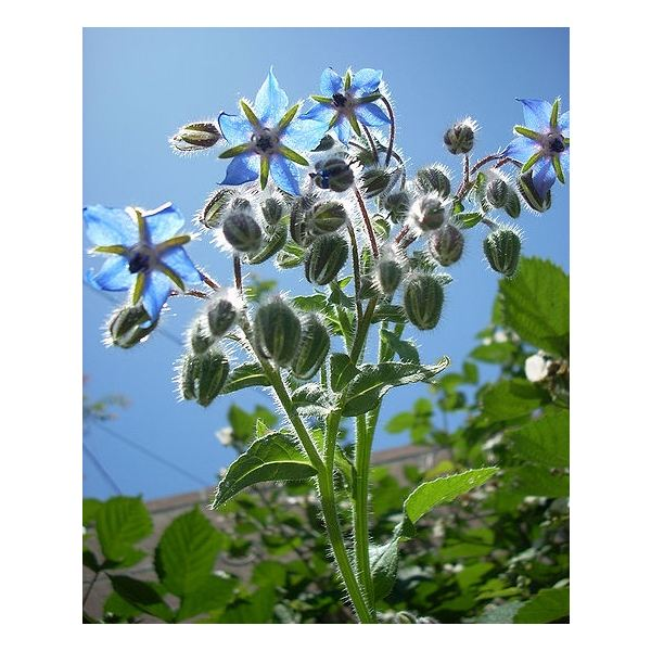 Learn the Health Benefits of Borage Oil