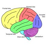 Labeled Lobes of the Brain