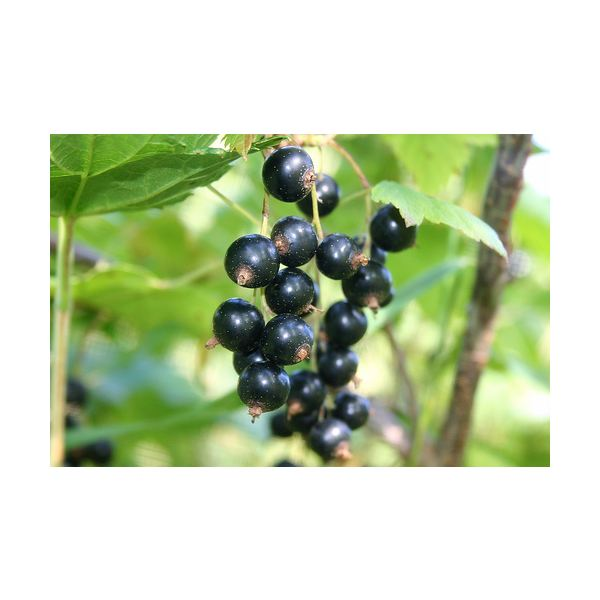 Black Currant Seed Oil Benefits for Your Well-Being